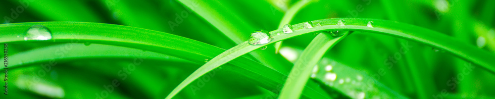 Fototapety, obrazy: Green background with grass. Water drops on the green grass. Drop of dew in morning on a leaf. Banner, header for web design.