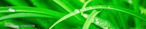 Obraz Green background with grass. Water drops on the green grass. Drop of dew in morning on a leaf. Banner, header for web design. - fototapety do salonu