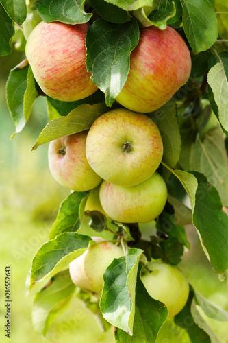 ripe apples on a tree