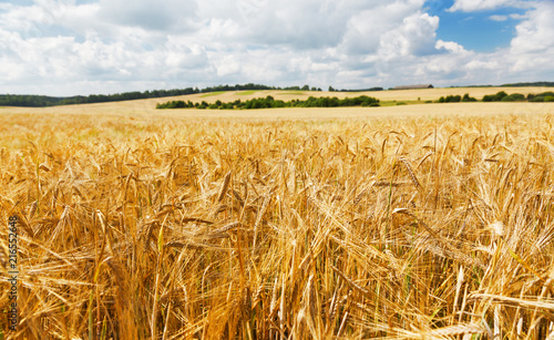 Foto op Aluminium Platteland Field of barley in a summer day