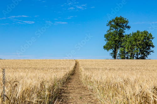 Foto op Canvas Beige A pathway through a field of wheat that is ready for harvesting, in Sussex