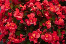 Beautiful Of Red Begonia In Th...