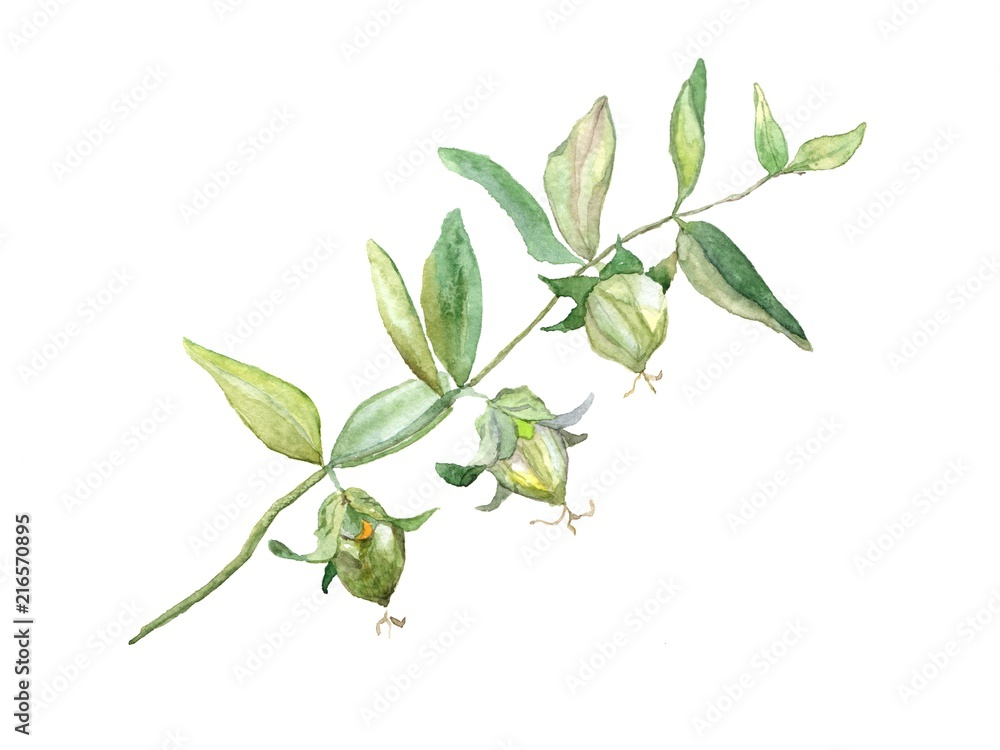 Fototapety, obrazy: Jojoba watercolor, isolated on white background. Botanical illustration for greeting cards, invitations, and other printing projects. Can used for packaging of natural products health and beauty.