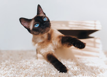 Siamese Cat Hides In A Box. Cat Games. Eyes Are Looking Up. Comfort Zone. Cat's Blue Eyes.