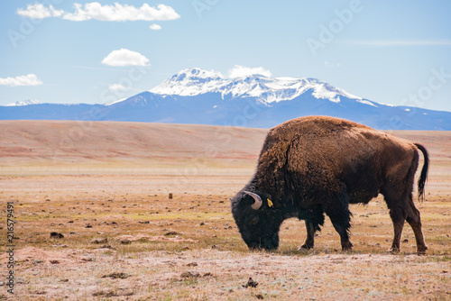 In de dag Bison Single Bison eating grass on the field, with snowy mountain as background