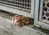 Fototapeta Zwierzęta - Dog's paws sticking through shelter kennel