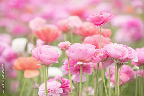 Fotografía Photograph of a field of ranunculus in shades of pink