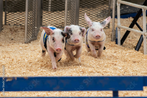 Small adorable racing pigs trying to gain advantage over competetors on sawdust race track.