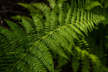 Ferns In The Colville National Forest