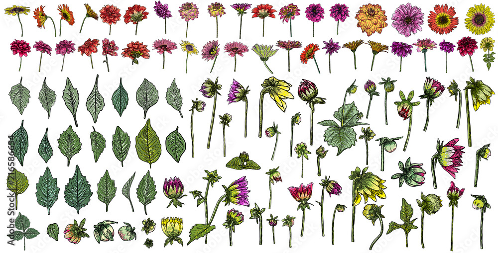 Fototapeta Large set of drawings Daisy, Dahlias, Zinnia and Gerbera flower with buds leaves and fern. Floral hand drawn botanical element illustration. Vector.