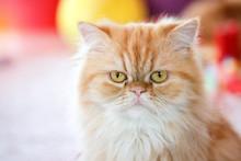 Brown Orange Persian Cat Sitti...