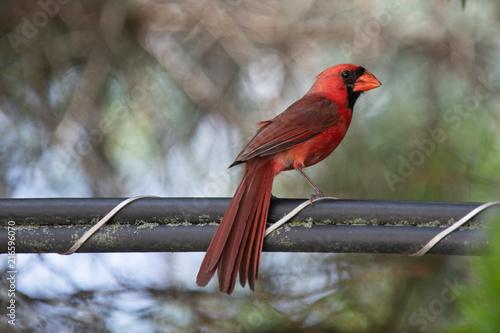 Photo  Cardinal