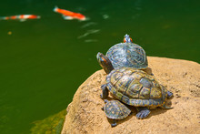 Exotic Turtle Species Red-eared Slider (Trachemys Scripta Elegans) Sunbathing On Rock With Koi Carp Fish Swimming In Pond In Background.