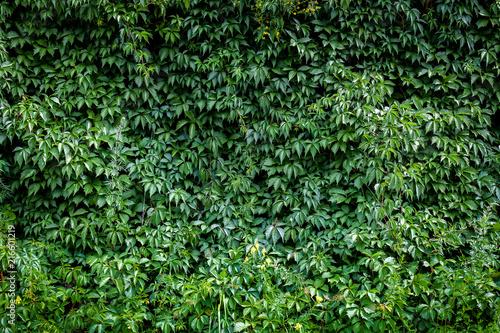 zielona-rostowa-sciana-naturalni-winogrona-na-letnim-dniu-tlo-zielen-w-winog