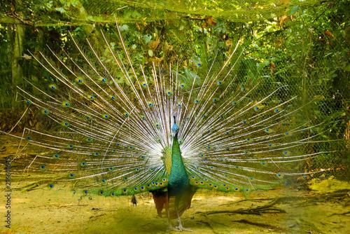 Foto op Aluminium Pauw Peacock With Beautiful Feathers