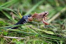 Snake Eating Big Frog