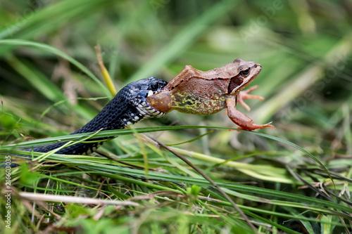 Fotografie, Tablou Snake eating big frog