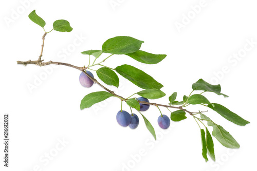 Fotografía  Plum branch with fruits and leaves on a white background