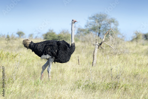 In de dag Struisvogel Common ostrich (Struthio camelus) walking on savanna, Kruger national park, South Africa.
