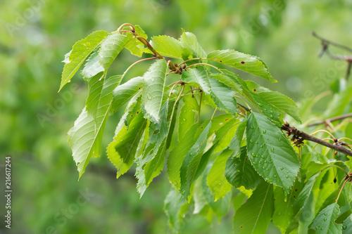Sweet cherry, Prunus avium twig with leaves