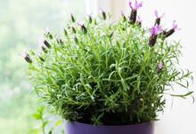 Flower Pot Of Spanish Lavender