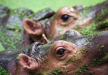 The Eyes Of The Hippopotamus I...