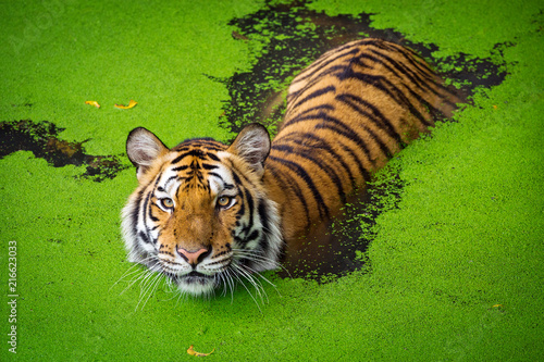 Fotografia Asian tiger standing in water pond.