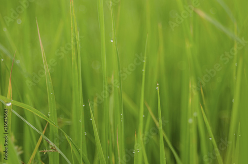 rice fram green background drop water and bamboo hut  #216625663