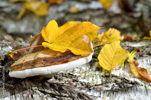 Valokuva  Polypore grows on the trunk of tree in autumn forest