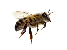 Bee Isolated On White