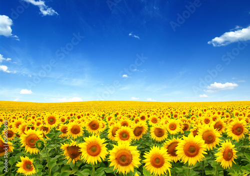Poster de jardin Tournesol sunflowers field on sky