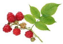 Ripe And Unripe Red And Green  Berries Of A Raspberry On Branch.