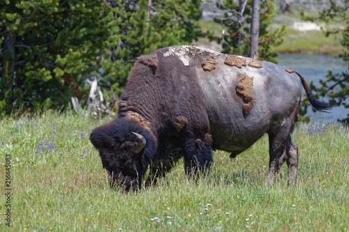Foto op Canvas Bison Amerikanischer Bison