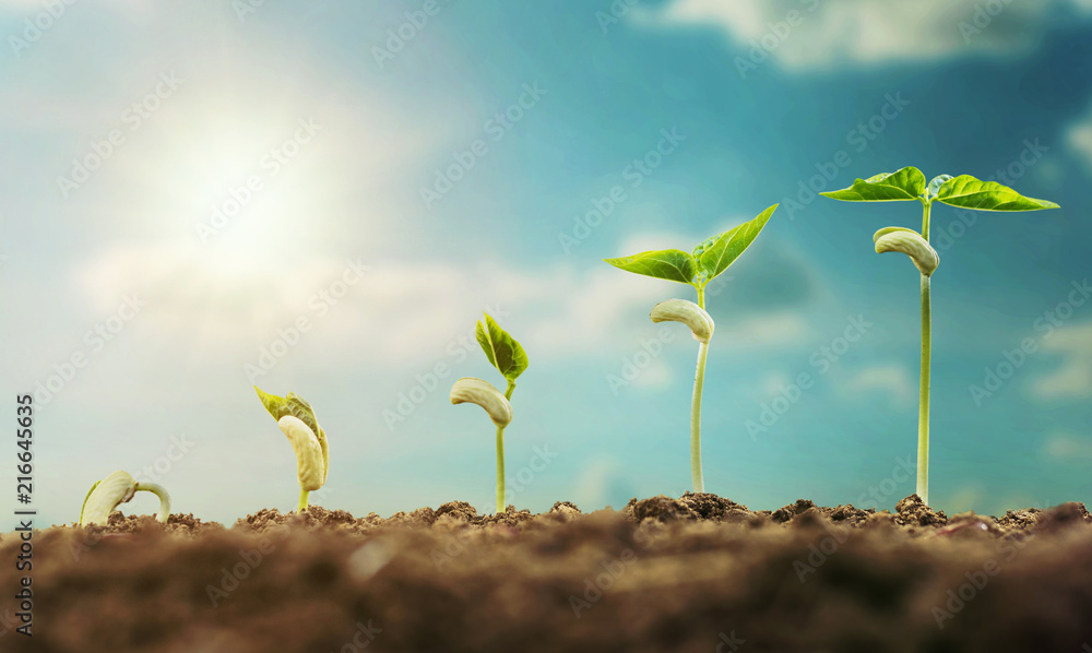 Fototapety, obrazy: concept agriculture planting seeding growing step with blue sky and sunlight
