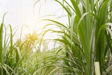 Sugar Cane Field With Soft Lig...