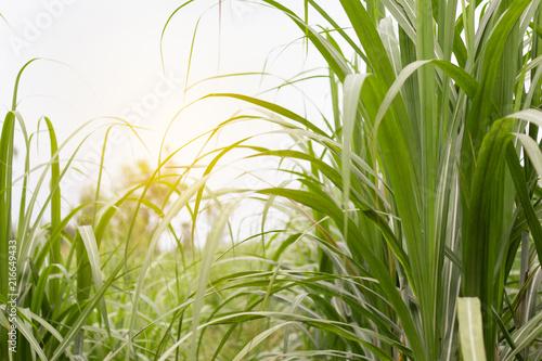 Sugar cane field with soft light. Fototapet