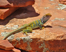 Green Collared Lizard On Doe M...