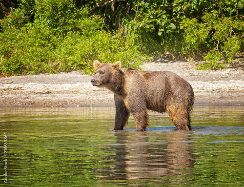 Photo  Kamchatka brown bear on the lake in summer