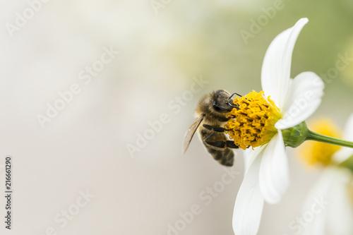 Obraz pszczoła zbierająca pyłek z kwiatów - fototapety do salonu