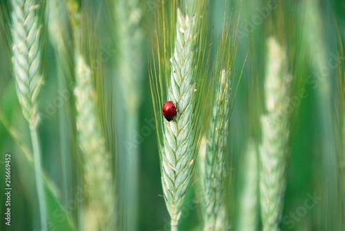 Marienkäfer auf Weizenähre im Feld