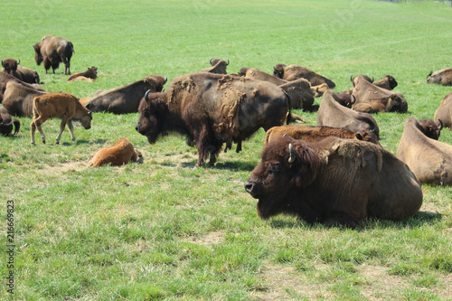 Fotobehang Buffel troupeau de bisons d'europe en suisse