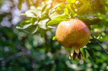 Ripening Yellow Pomegranate Fr...