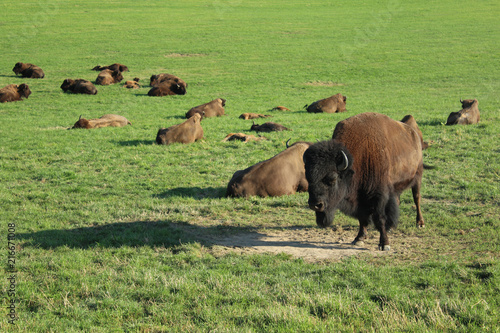 Staande foto Buffel troupeau de bisons d'europe en suisse