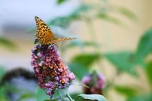 Regal Fritillary Butterfly On Buddleia Flower Against Blurry Garden Background.
