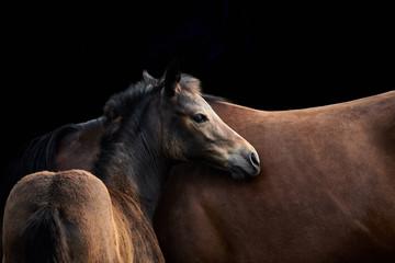 Fohlen und Stute. Zwei braune Pferde in Nahaufnahme und isoliert vor schwarzem Hintergrund mit Textfreiraum