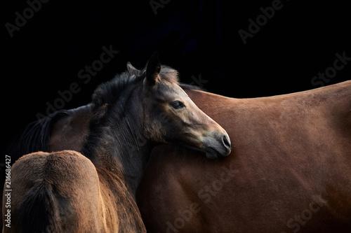 Leinwand Poster Fohlen und Stute, zwei braune Pferde vor schwarzem Hintergrund.
