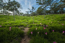 Siam Tulip Field In The Foggy Morning At Pa Hin Ngam National Park, Chaiyaphum, Thailand