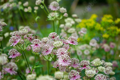 Great masterwort flowers,. Astrantia major, blooming in a garden Canvas Print