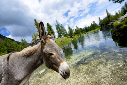 Fotobehang Ezel Donkey in Dolomites Mountain Alps