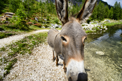 Donkey in Dolomites Mountain Alps